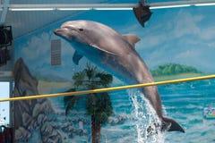 Le dauphin sautant par-dessus un bâton Photos libres de droits