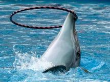 Le dauphin tourne l'anneau sur la t?te image libre de droits