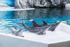 Le dauphin trois montent sur la terre de la piscine Photo stock