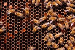 Le ¡ de Ð perdent vers le haut de la vue des abeilles de travail sur le nid d'abeilles Photo libre de droits
