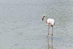 Le de cor-de-rosa flamant la Camargue Fotos de Stock Royalty Free