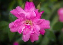 Le ` de la Chine Rose vieux rougissent ` Images stock