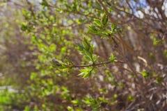 Le De mou a concentré la texture de ressort des branches d'arbre avec les premières nouvelles feuilles sur lui Photos stock