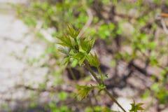 Le De mou a concentré la texture de ressort des branches d'arbre avec les premières nouvelles feuilles sur lui Photo stock