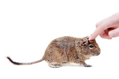 Le Degu ou le rat Brosse-coupé la queue, sur le blanc Photo stock