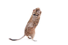 Le Degu ou le rat Brosse-coupé la queue, sur le blanc Photo libre de droits