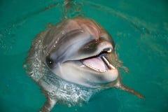 Le delfin i turkosvatten Royaltyfri Bild