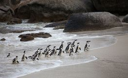 Le demersus africain de Spheniscus de pingouin de colonie sur des rochers échouent près de Cape Town Afrique du Sud revenant de l photographie stock libre de droits