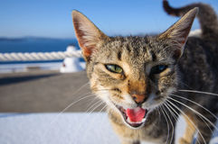 Le den grekiska katten Royaltyfri Fotografi