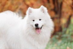 Le den lyckliga Samoyedhunden Royaltyfria Bilder