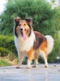 Le den Shetland fårhunden Royaltyfria Bilder