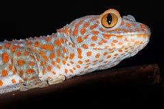 Le den tokay geckon Arkivbilder