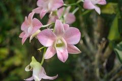 Le Dendrobium est un genre énorme des orchidées Il y a en sud, est et Asie du Sud-Est Photos stock