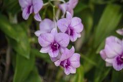 Le Dendrobium est un genre énorme des orchidées Il y a en sud, est et Asie du Sud-Est Photographie stock libre de droits