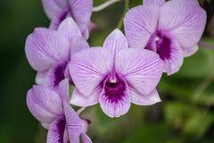 Le Dendrobium est un genre énorme des orchidées Il y a en sud, est et Asie du Sud-Est Images stock