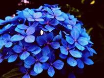 Le dernier hortensia Image libre de droits