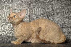 Le Devon Rex Photo libre de droits
