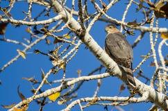 Le dièse Shinned Hawk Perched High dans les membres nus d'Autumn Tree photographie stock