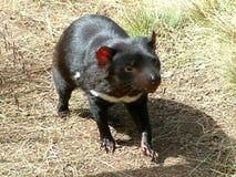 Le diable tasmanien photos libres de droits