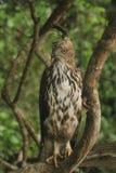 Le distanze lunghe, Sharp osserva, l'obiettivo dell'immagine, Hawk Eagle crestato, cresta dritta lunga, raramente sale, piano di  fotografia stock libera da diritti