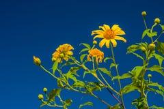 Le diversifolia jaune de Tithonia fleurit dans la forêt tropicale de la Thaïlande Images stock