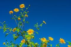 Le diversifolia jaune de Tithonia fleurit dans la forêt tropicale de la Thaïlande Photos stock