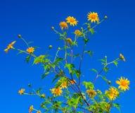 Le diversifolia jaune de Tithonia fleurit dans la forêt tropicale de la Thaïlande Photos libres de droits