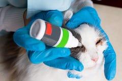 Le docteur de vétérinaire enterre le chat de malade de médecine de yeux Copiez l'espace image libre de droits