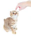 Le doigt a dirigé le pli écossais coupable de chat d'isolement image libre de droits