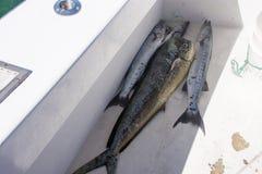 Le dolade attrapé d'or et le barracuda se situent dans un bateau de pêche Photographie stock