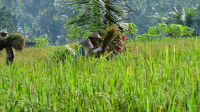 Le donne agricoltori stanno martellando i raccolti del riso Fotografie Stock Libere da Diritti