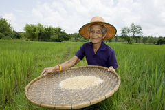 Le donne asiatiche anziane setaccia il riso al riso-campo Fotografia Stock