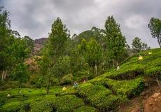 Le donne che selezionano le foglie di tè in una piantagione di tè, Munnar è più note come capitale del tè del ` s dell'India Immagine Stock