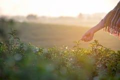 Le donne dell'agricoltore del lavoratore dell'Asia stavano selezionando le foglie di tè per le tradizioni nella mattina dell'alba Fotografie Stock