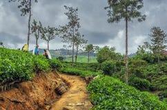 Le donne indiane non identificate seleziona in foglie di tè sulla collina verde della t Fotografia Stock Libera da Diritti