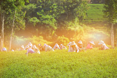 Le donne raccolgono le foglie di tè sulla piantagione di tè fotografia stock libera da diritti