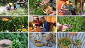 Le donne riuniscono le erbe e bevono il tè sano Il metraggio taglia il collage video d archivio