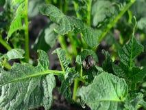 Le dorifore strisciano sopra un giovane cespuglio della patata stock footage
