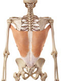 Le dorsi de latissimus Photo libre de droits