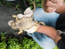Le dos de grenouille mugissante attrapé par homme vers le bas Photographie stock