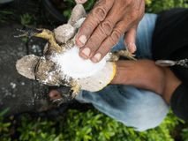 Le dos de grenouille mugissante attrapé par homme vers le bas Photo libre de droits
