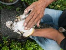 Le dos de grenouille mugissante attrapé par homme vers le bas Photos stock