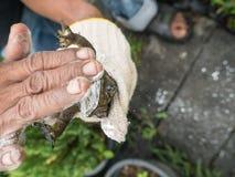 Le dos de grenouille mugissante attrapé par homme vers le bas Images libres de droits