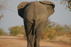 Le dos de l'éléphant Image stock