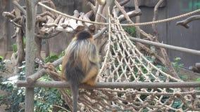 Le dos du singe se reposant sur un bois banque de vidéos