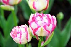 Le double contact est un genre de double tulipe images libres de droits