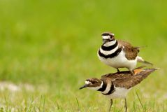 Le double le Killdeer photographie stock