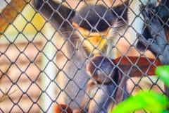 Le douc rouge-shanked mignon (nemaeus de Pygathrix) est des espèces de vieil OE Photographie stock libre de droits
