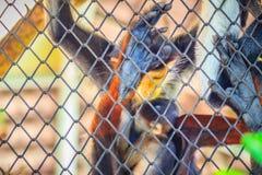 Le douc rouge-shanked mignon (nemaeus de Pygathrix) est des espèces de vieil OE Photos stock