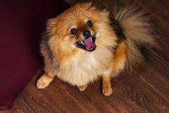 Le drôle, spitz, chiot, chien sourit à vous avec l'intérêt Images stock